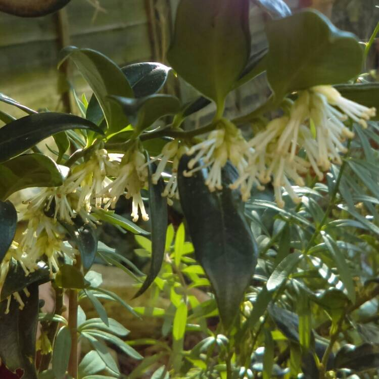 Plant image Sarcococca confusa