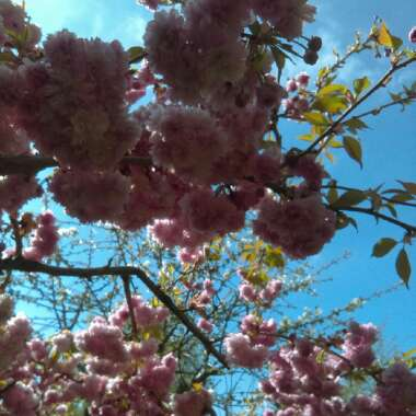 Weeping Flowering Cherry Tree