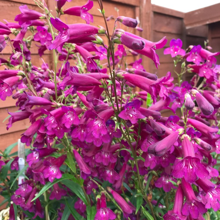 Plant image Penstemon 'Juicy Grape'