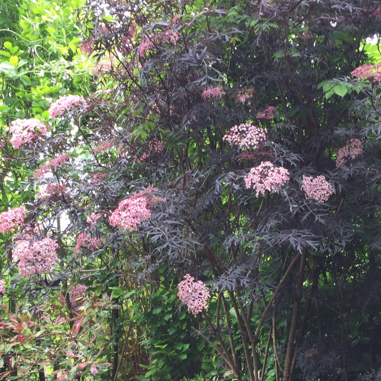 sambucus nigra f porphyrophylla 39 black lace 39 elderflower. Black Bedroom Furniture Sets. Home Design Ideas