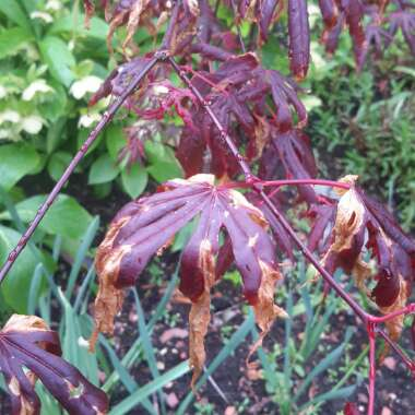 Japanese Maple 'Trompenburg'