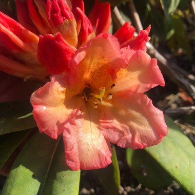 Rhododendron 'Sun Fire'