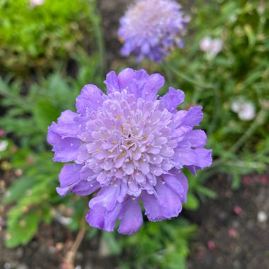 Scabious 'Butterfly Blue'