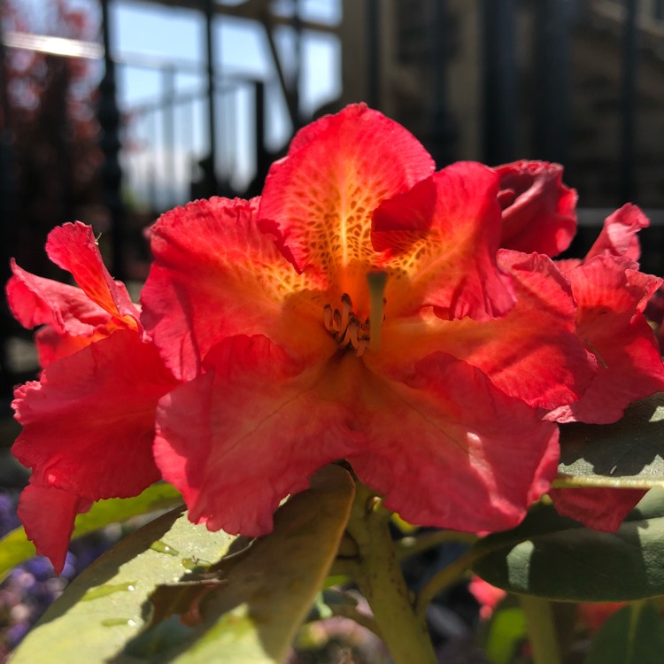 Plant image Rhododendron 'Sun Fire'