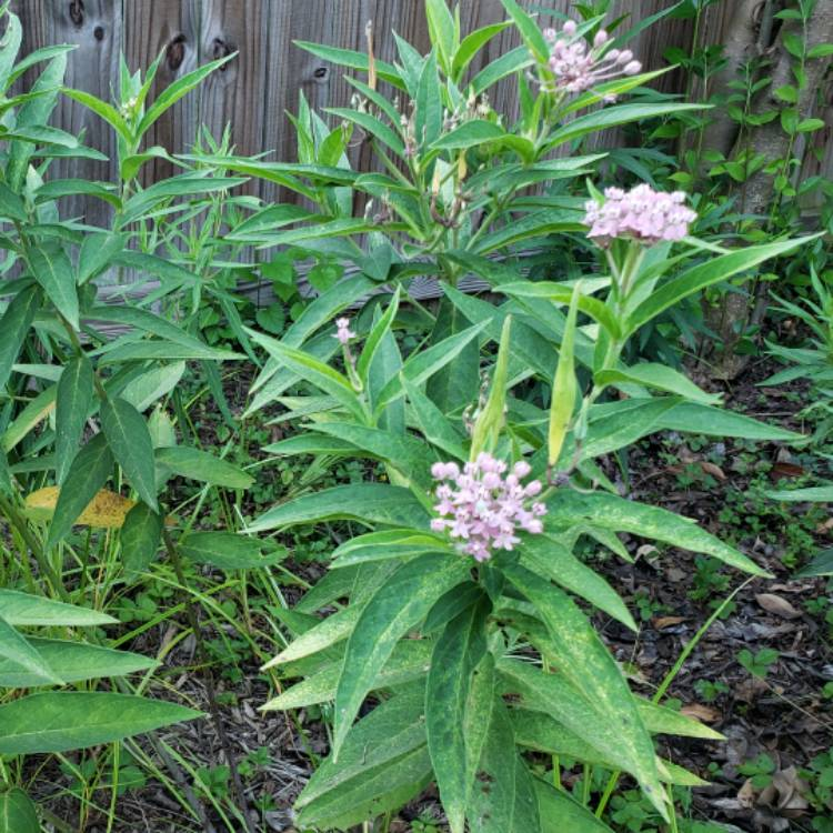 Plant image Asclepias