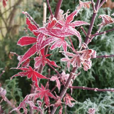 Acer 'Pink Passion'