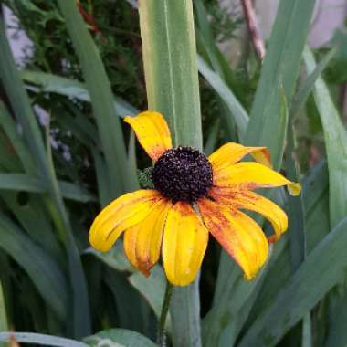 Coneflower 'Yellow Storm'