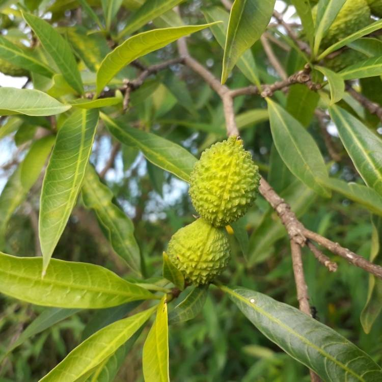 Plant image Litchi chinensis