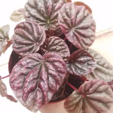 Peperomia 'Lunar Red'