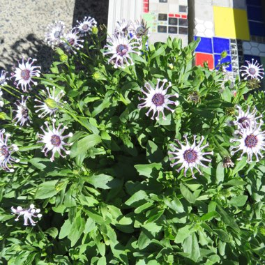 Trailing African daisy