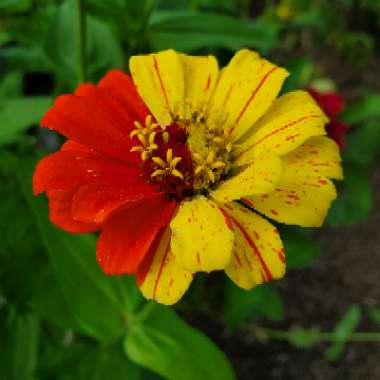 Zinnia 'Early Wonder Mixed' (Mix)