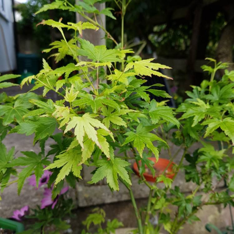 Plant image Acer Palmatum 'Going Green'