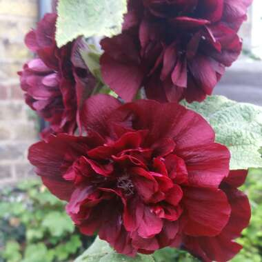 Hollyhock 'Chaters Chestnut Brown'