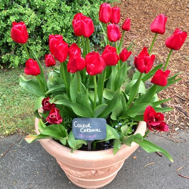 Tulip (Triumph Group)
