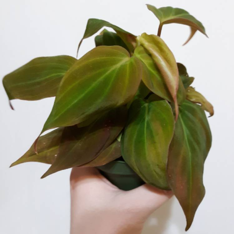 Plant image Philodendron micans