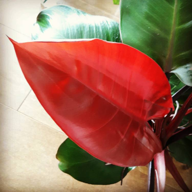 Plant image Philodendron 'Rojo Congo' syn. Philodendron 'Congo Rojo', Philodendron 'Red Congo'