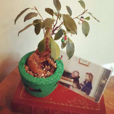 Ficus microcarpa (Bonsai)