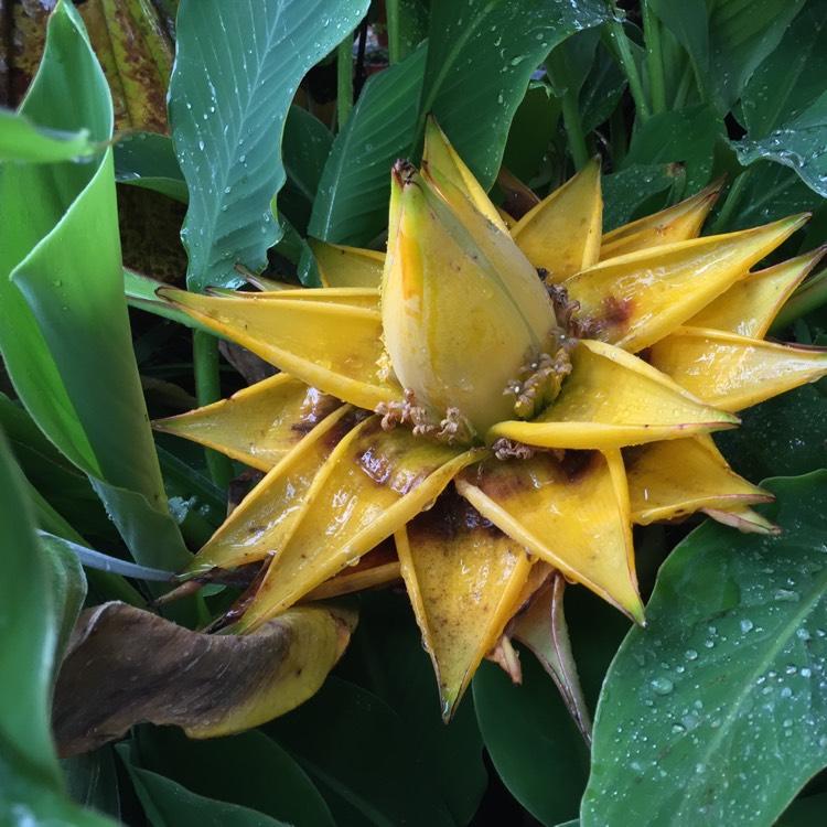 musella lasiocarpa golden lotus banana uploaded by. Black Bedroom Furniture Sets. Home Design Ideas