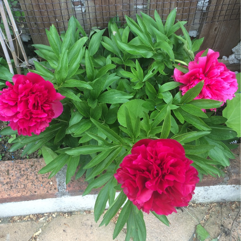 Peony 'Red Charm' (Herbaceous)
