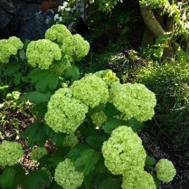 European Snowball Bush