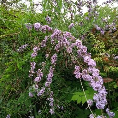 Alternative-leaved Butterfly Bush