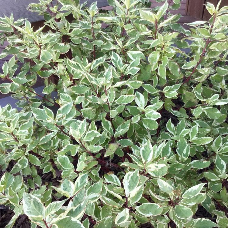 Cornus alba 39 sibirica varigata 39 variegated dogwood - Cornus alba sibirica ...