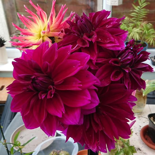 Plant image Dahlia 'Lavender Perfection'