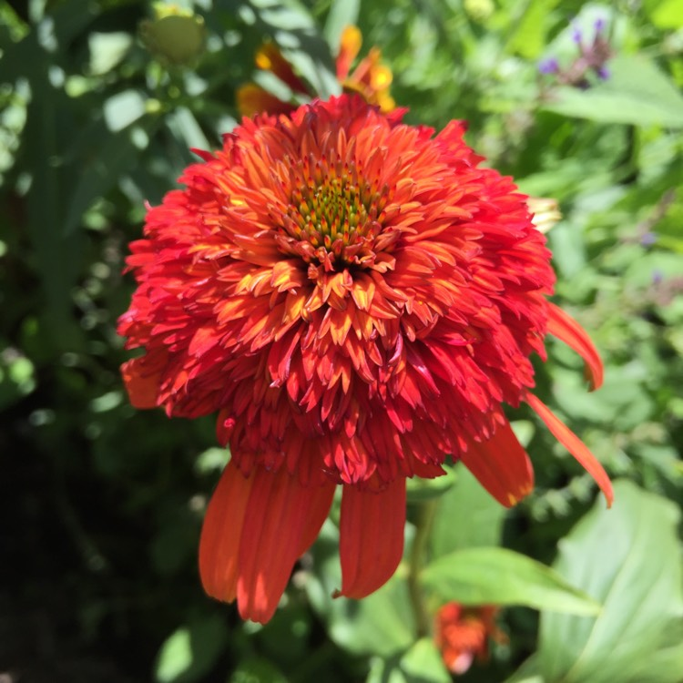 Plant image Echinacea 'Hot Papaya'