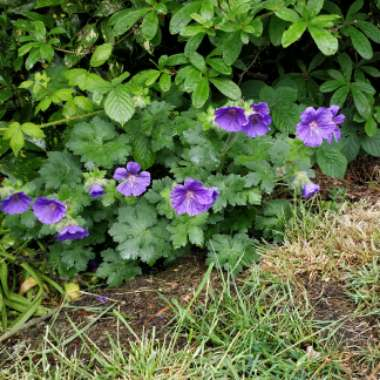 Cranesbill 'Johnson's Blue'