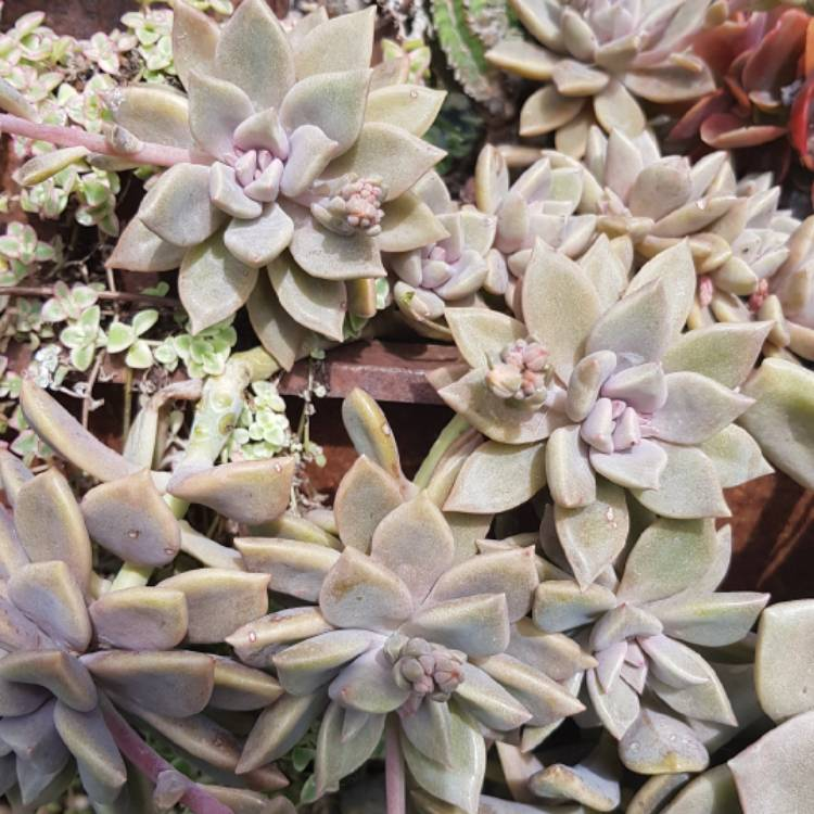 Plant image Graptopetalum Rose Queen
