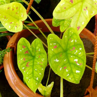 Caladium bicolor 'Florida Clown'