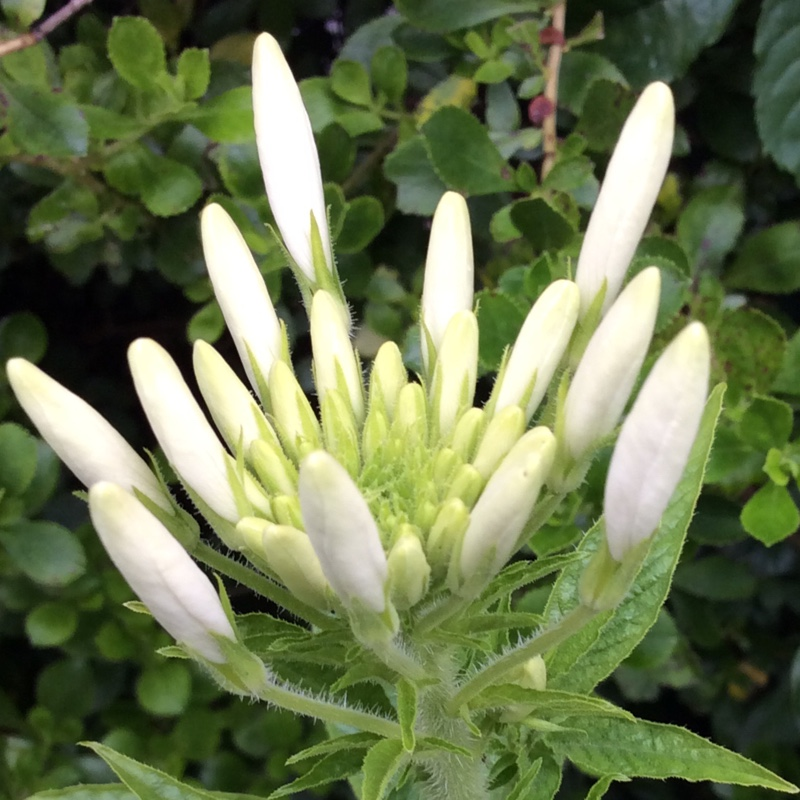 Plant image Cleome hassleriana 'Colour Fountain'