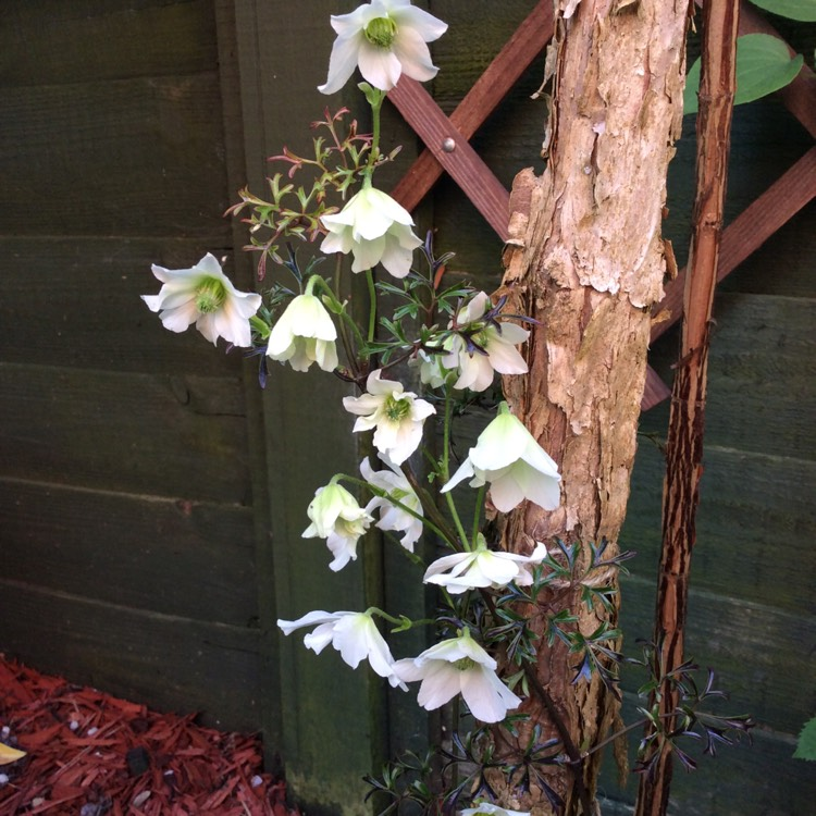 Plant image Clematis 'Early Sensation'