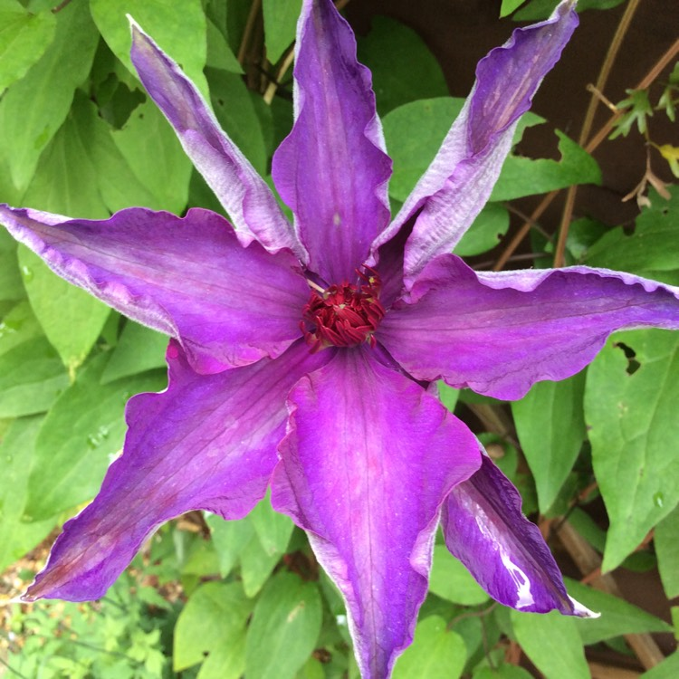 clematis viticella 39 the president 39 clematis 39 the. Black Bedroom Furniture Sets. Home Design Ideas
