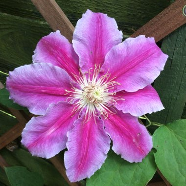 Clematis 'Dr Ruppel'