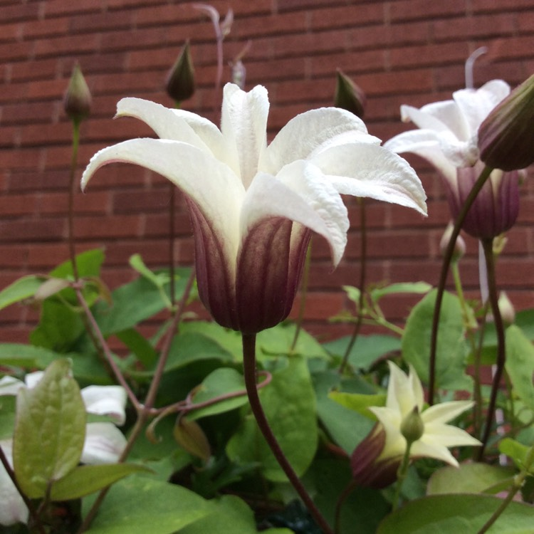 Plant image Clematis texensis 'Princess Kate'