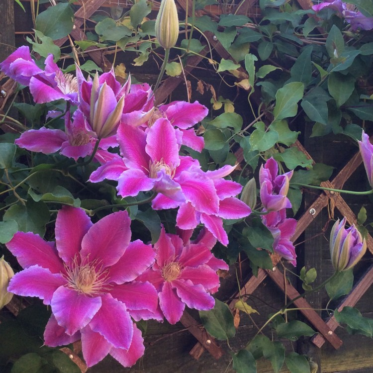 Plant image Clematis 'Dr Ruppel'