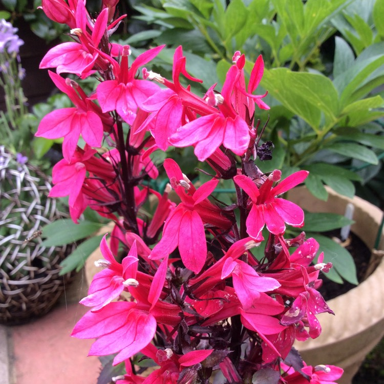 Lobelia Speciosa Starship Deep Rose Cardinal Flower Starship