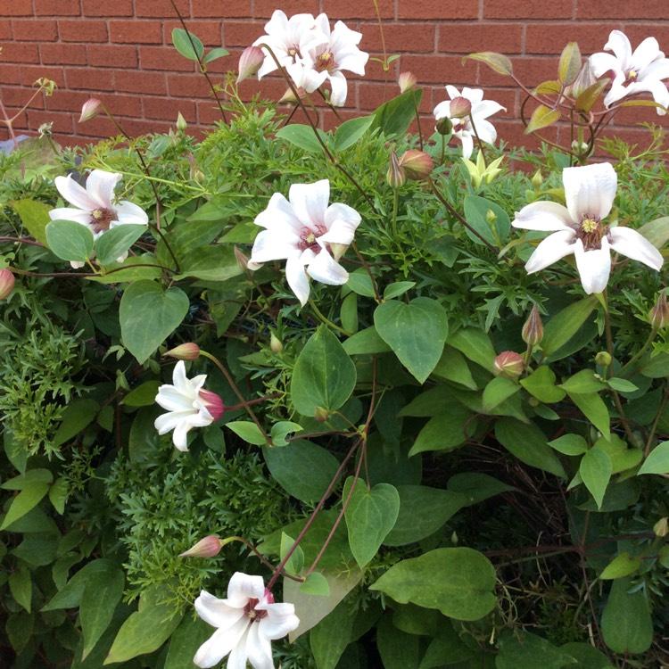 Tulpen-Clematis Princess Kate® online kaufen & bestellen