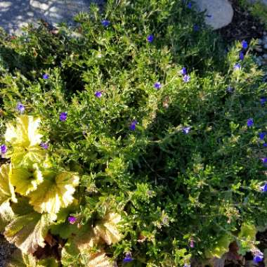 Lithodora Diffusa 'Compact Blue'