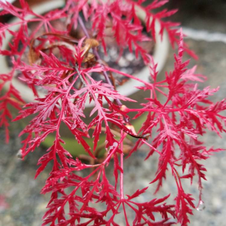 Acer Palmatum Red Feather Japanese Maple Red Feather Uploaded