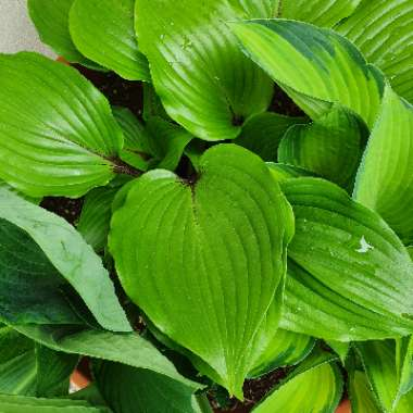 Plantain Lily 'One Man's Treasure'
