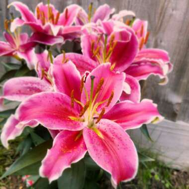 Lily 'Starlight Express' (Oriental)