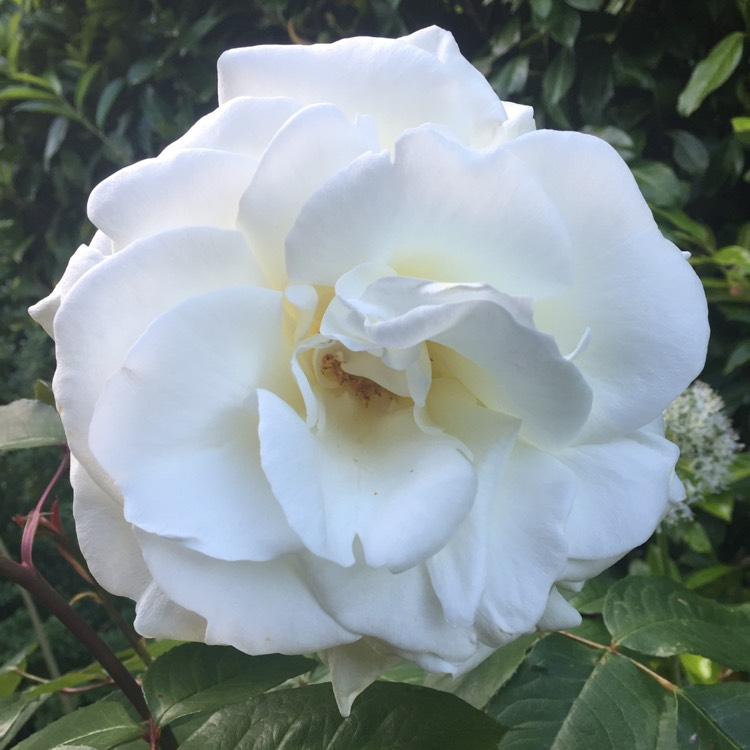 Plant image Rosa 'Korbin' syn. Rosa 'Iceberg', Rosa 'Fee des Neiges', Rosa 'Schneewittchen'