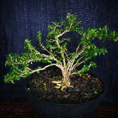 Bonsai Tree Of A Thousand stars