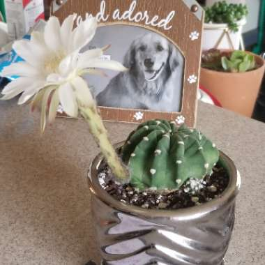Easter Lily Cactus 'Dominos'