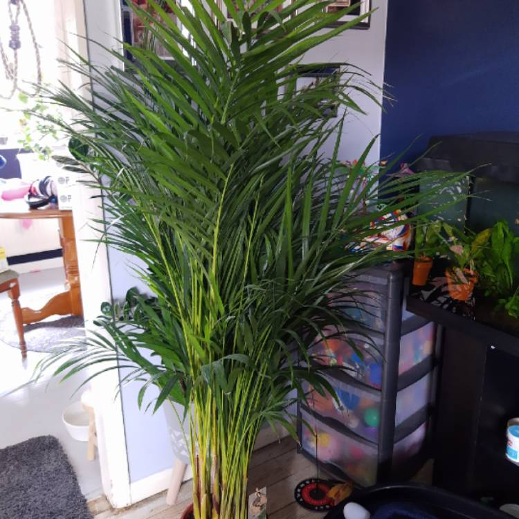 Plant image Dypsis lutescens syn. Chrysalidocarpus lutescens, Areca lutescens