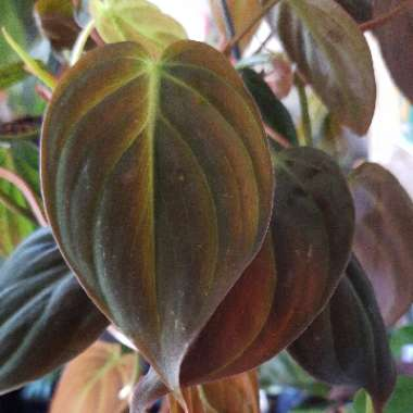 Velvet Heart Leaf Philodendron