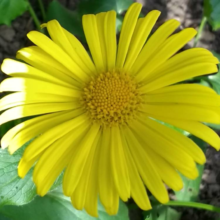 Little Leo S Nursery Fit For A King: Doronicum Caucasicum 'Little Leo', Leopard's Bane 'Little
