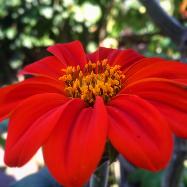Plant image Tithonia rotundifolia 'Torch'